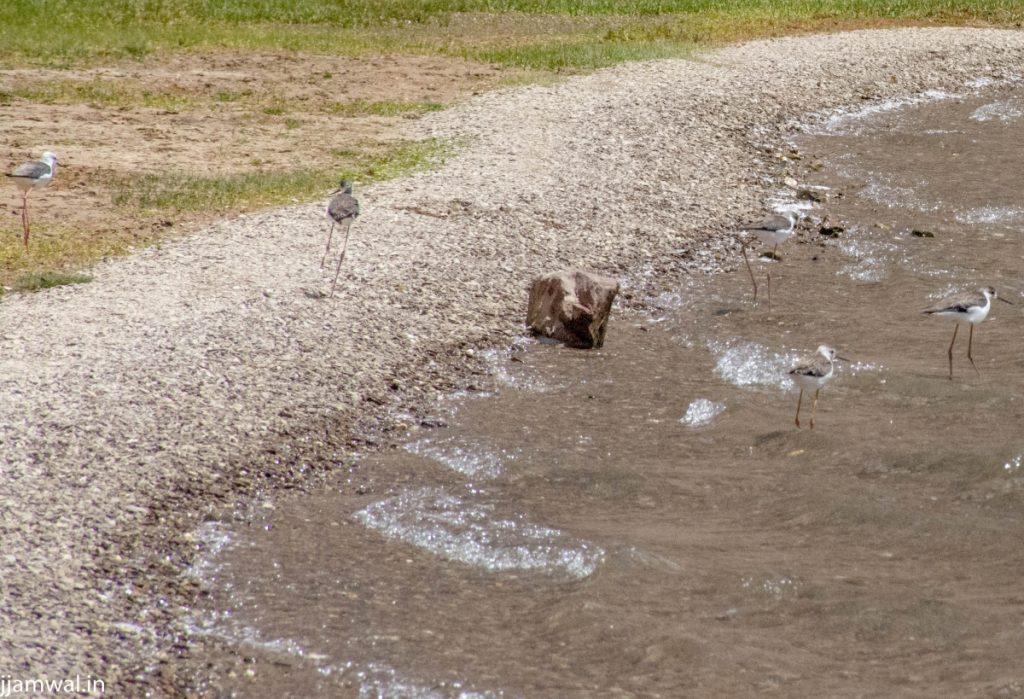 WETLAND BIRDS Lahaul Spiti