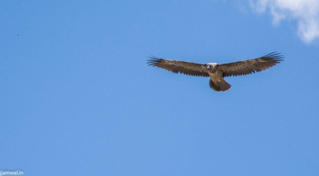 Bearded Vulture Lahaul Spiti